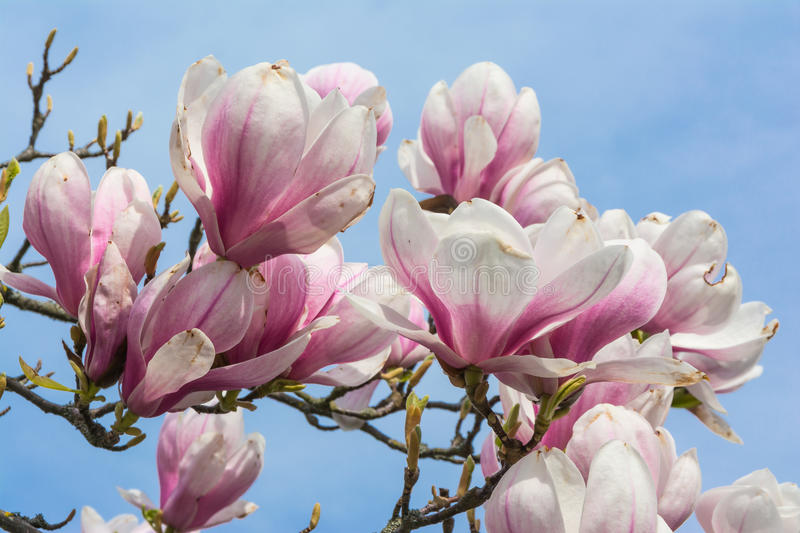 Magnolias Blooming on Blue Sky Background Beautiful Plants Real royalty free stock photography