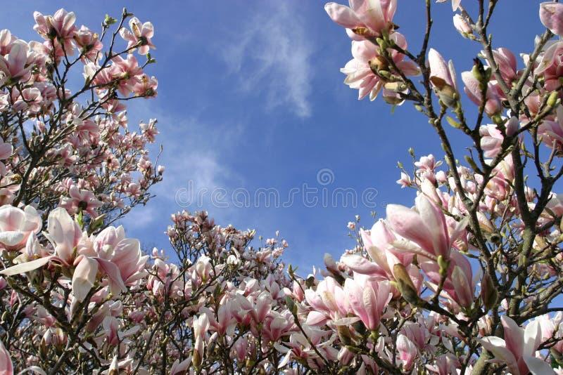 Magnolias bonitos beneficiente foto de stock royalty free