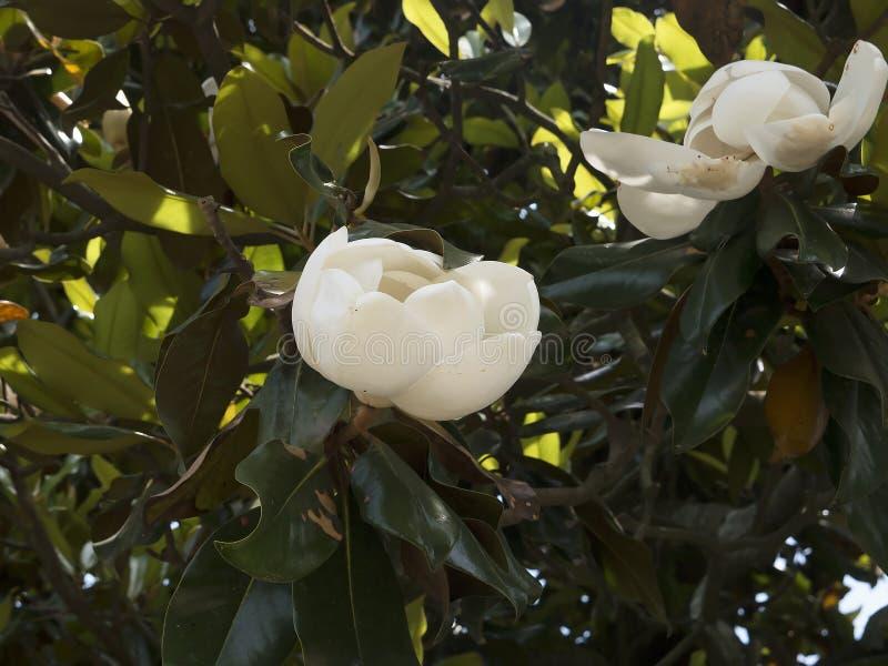 Magnolias dans le jardin au bâti Vernon George Washingtons Home sur les banques du Potomac Etats-Unis photos libres de droits
