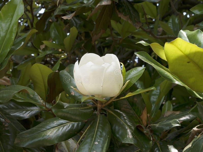 Magnolias en el jardín en el soporte Vernon George Washingtons Home en los bancos del Potomac los E.E.U.U. imágenes de archivo libres de regalías