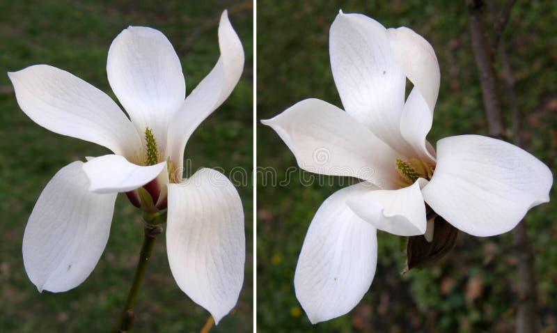 magnolias Mycket härliga blommor arkivbilder