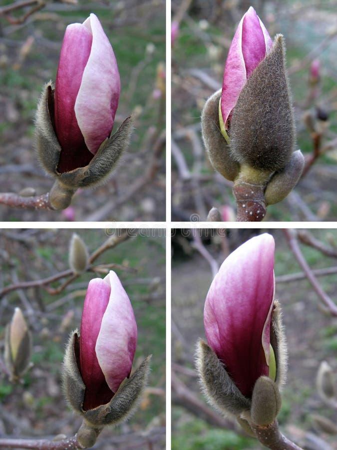 magnolias Mycket härliga blommor arkivfoton