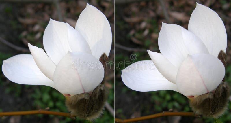 magnolias Mycket härliga blommor royaltyfri fotografi