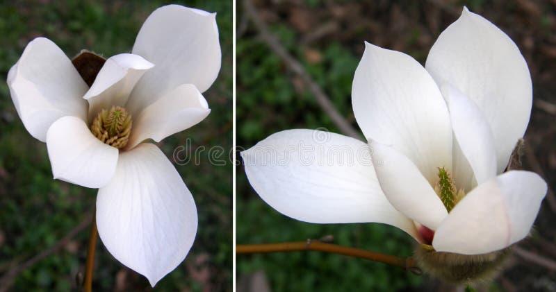 magnolias Mycket härliga blommor royaltyfria bilder