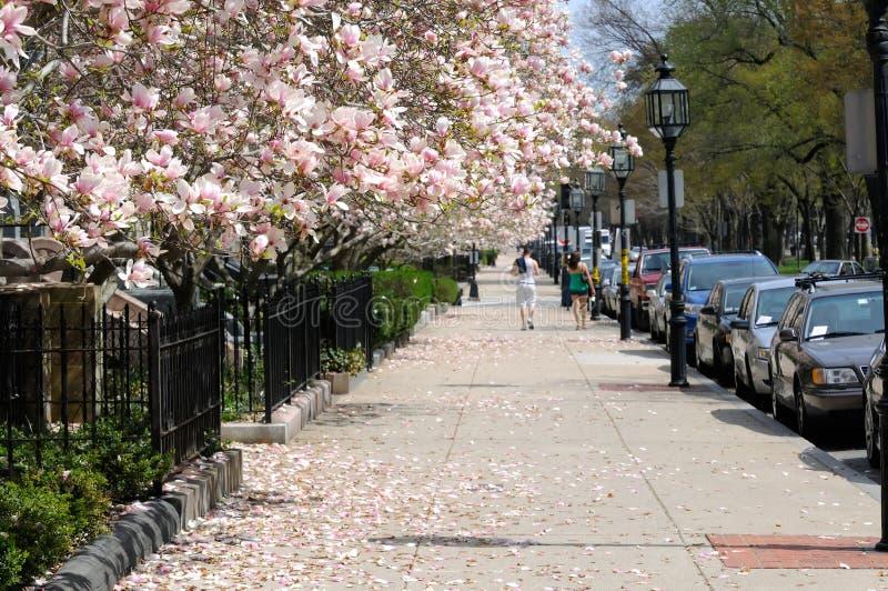 Magnolias på trottoaren royaltyfri foto