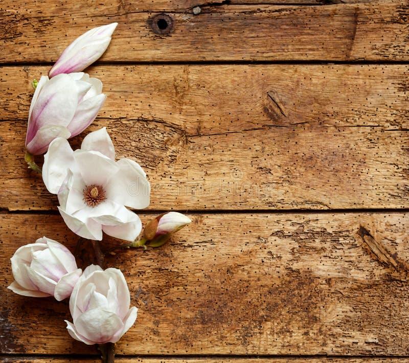 Magnolias parfumées fraîches de ressort photographie stock libre de droits