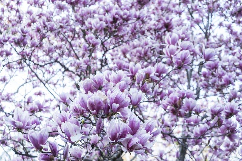 Magnolias fotografie stock libere da diritti