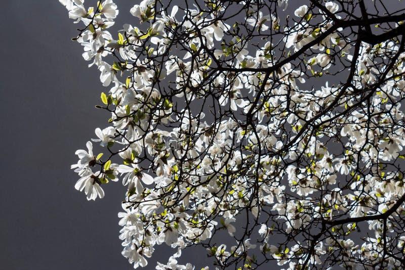 Magnoliastellata royalty-vrije stock foto