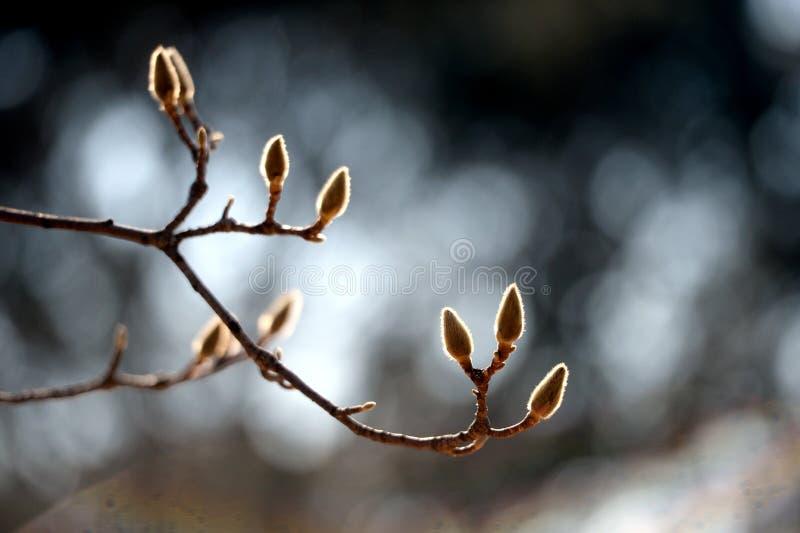 Magnoliaträd royaltyfria bilder