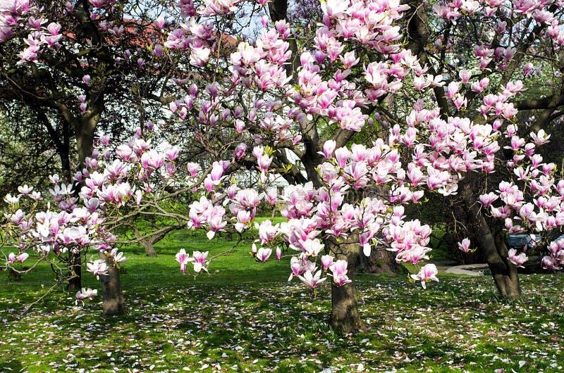 Magnoliaträd i blom i trädgården royaltyfri bild