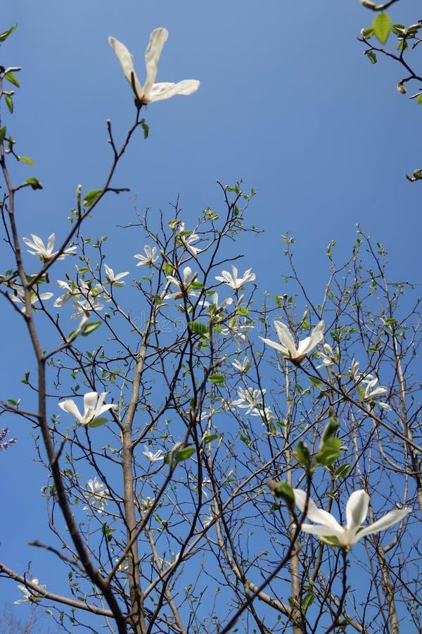 Magnoliaträd med vita blommor royaltyfri bild