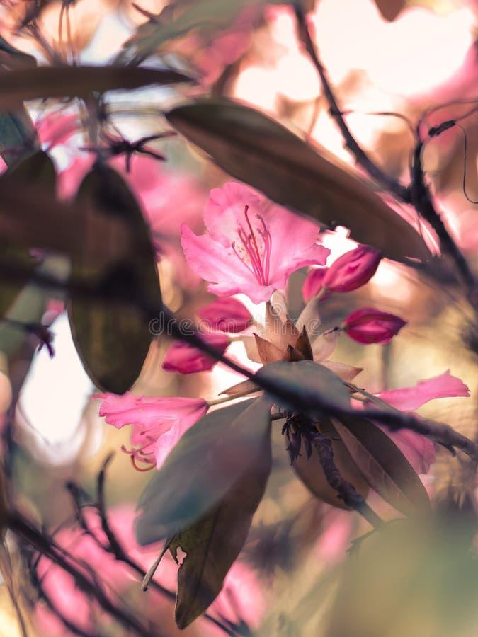 Magnoliaträd som är klart att blomma royaltyfria foton
