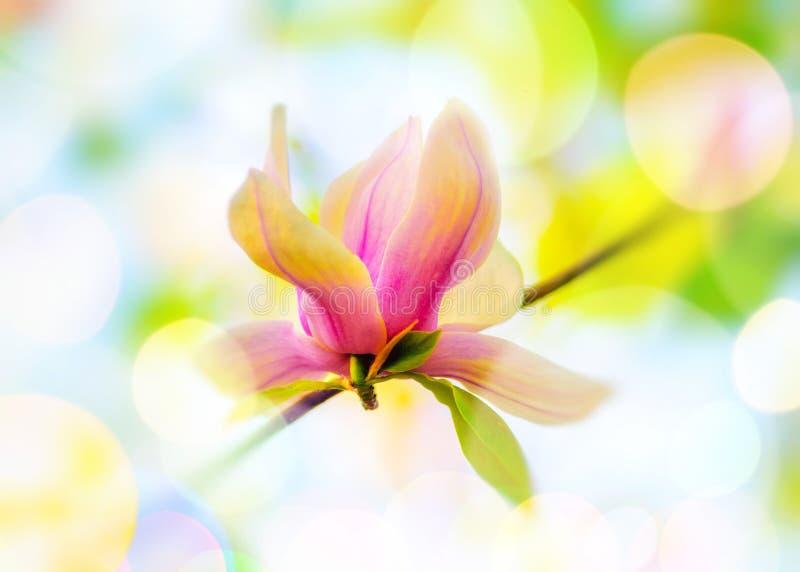 Magnoliaträdblomma royaltyfri foto