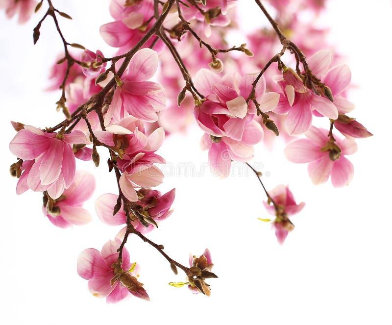 Magnoliaträdblomning över vit royaltyfri fotografi