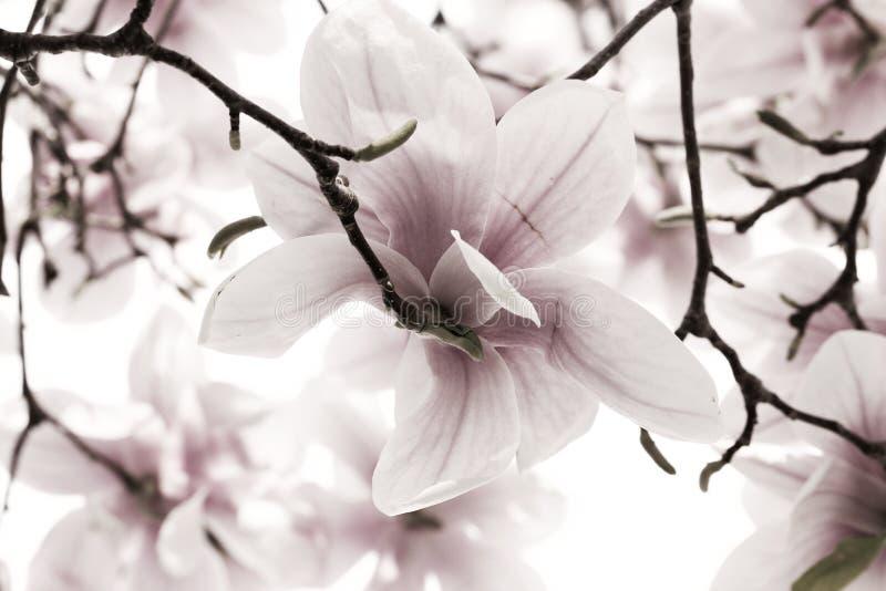 Magnoliaträdblomningar fotografering för bildbyråer