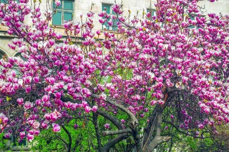 Magnoliaträdet blomstrar i vår royaltyfri foto