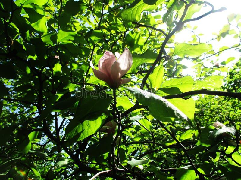 Magnoliaträdgården, botaniska trädgården och de rosa magnoliorna blomstrar royaltyfri bild