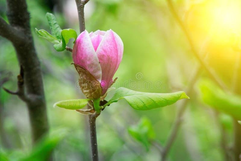 Magnoliatr?dhuvud Rosa magnolior i v?rdag H?rliga rosa magnolior p? bakgrund f?r bl? himmel Blomma magnoliablommor och royaltyfria bilder
