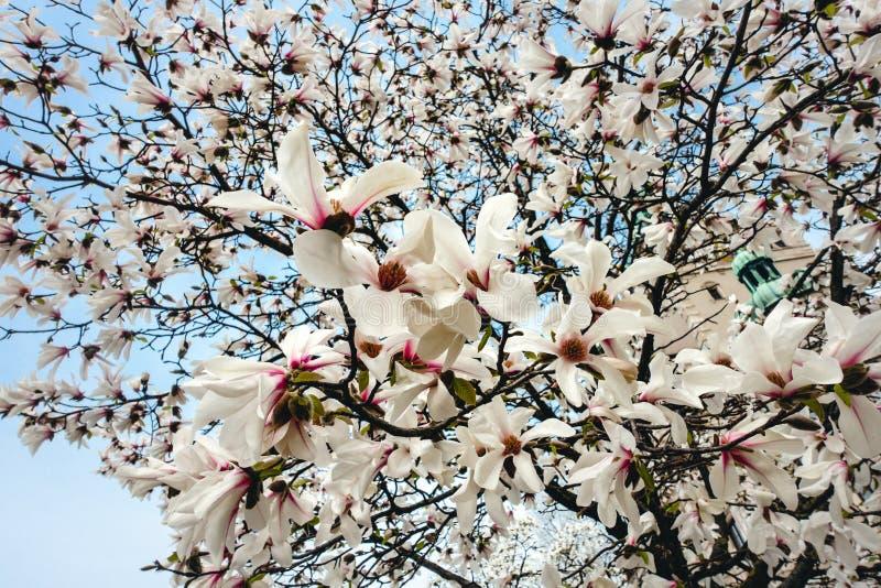 MagnoliaYulan Soulangeana blommor, blomningar på ett magnoliaträd mot blå himmel arkivbilder