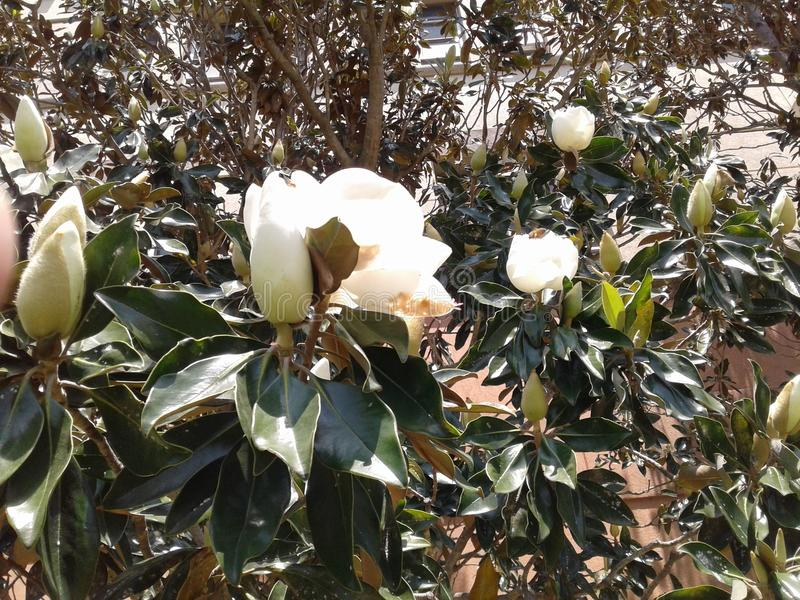 Magnoliazonnewijzers royalty-vrije stock foto's