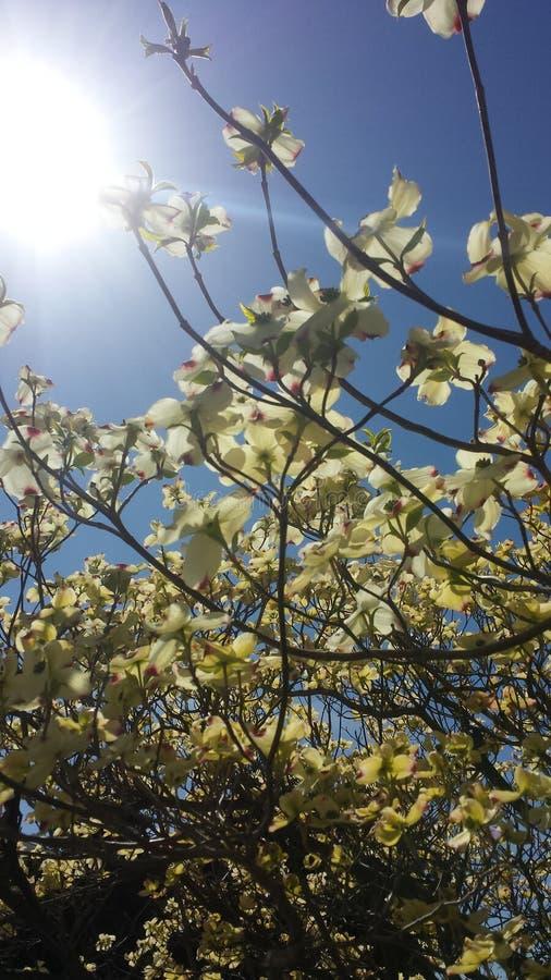 magnolie lizenzfreies stockbild