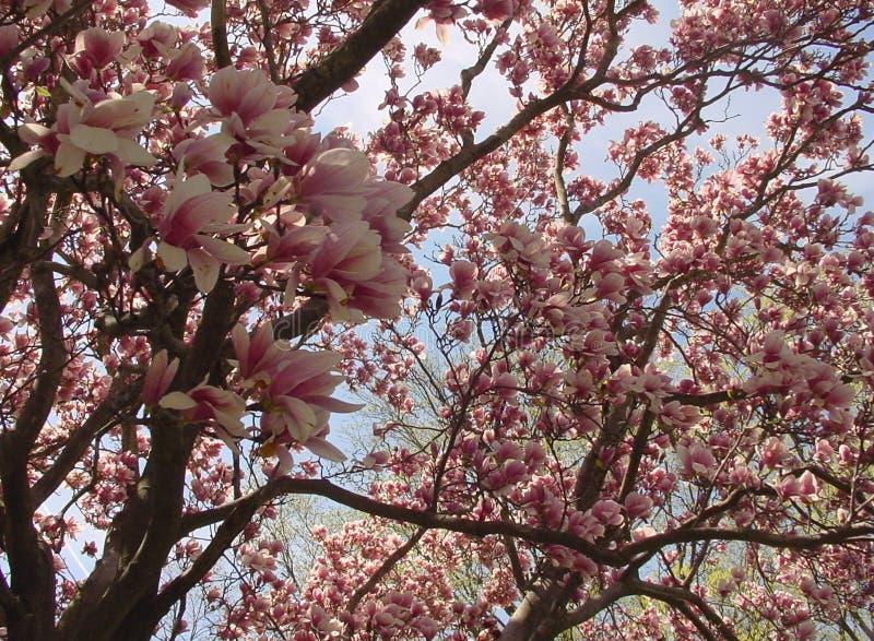 Magnolie-Baum Lizenzfreie Stockfotos