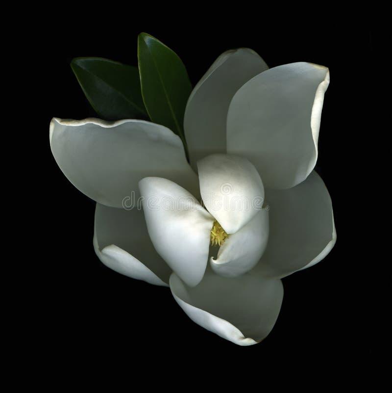 Magnolie-Blüte stockbild
