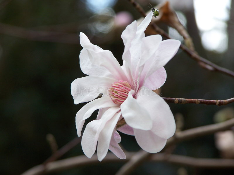 Magnolie-Blume stockfotos