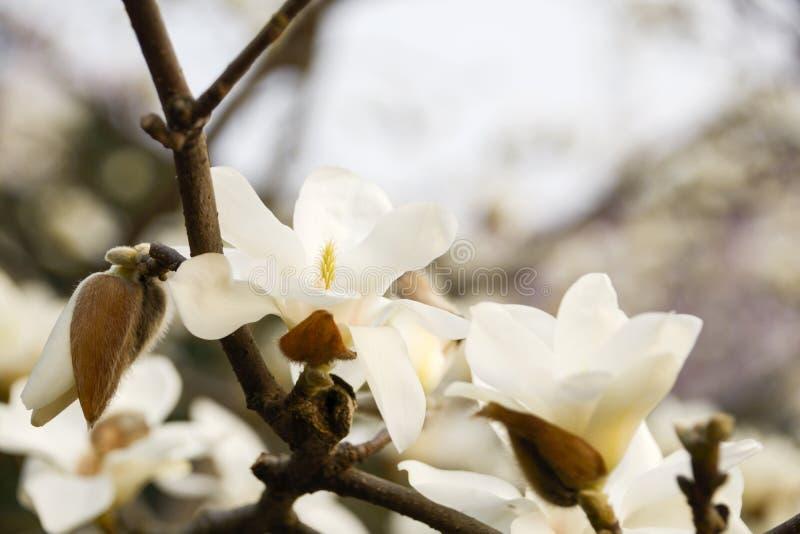 Magnolie denudata stockfotografie