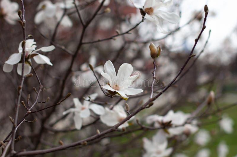 Magnolie in der Bl?te Weiße Magnolienblumen und -knospen Unscharfer Hintergrund Nahaufnahme, weicher selektiver Fokus stockbild