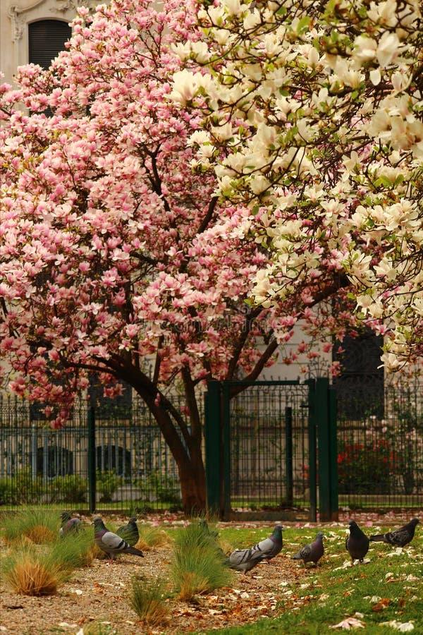 Magnolie di fioritura a Milano Concetto della molla e della bellezza magnolie di fioritura sulla via fotografie stock libere da diritti