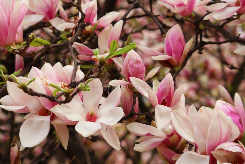 Magnolie di fioritura a Milano Concetto della molla e della bellezza magnolie di fioritura sulla via immagine stock libera da diritti