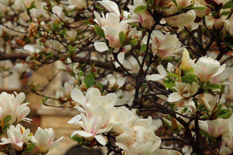 Magnolie di fioritura a Milano Concetto della molla e della bellezza magnolie di fioritura sulla via fotografia stock