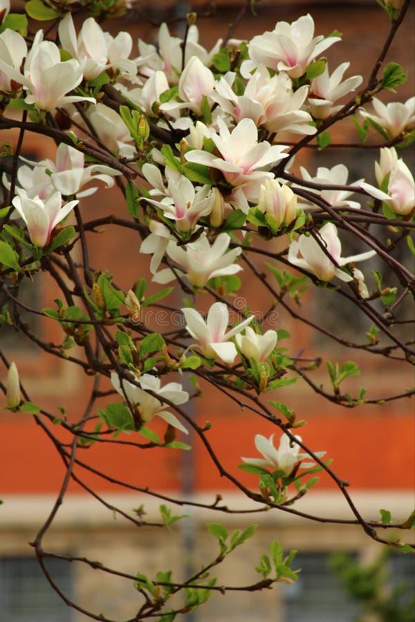 Magnolie di fioritura a Milano Concetto della molla e della bellezza magnolie di fioritura sulla via fotografie stock