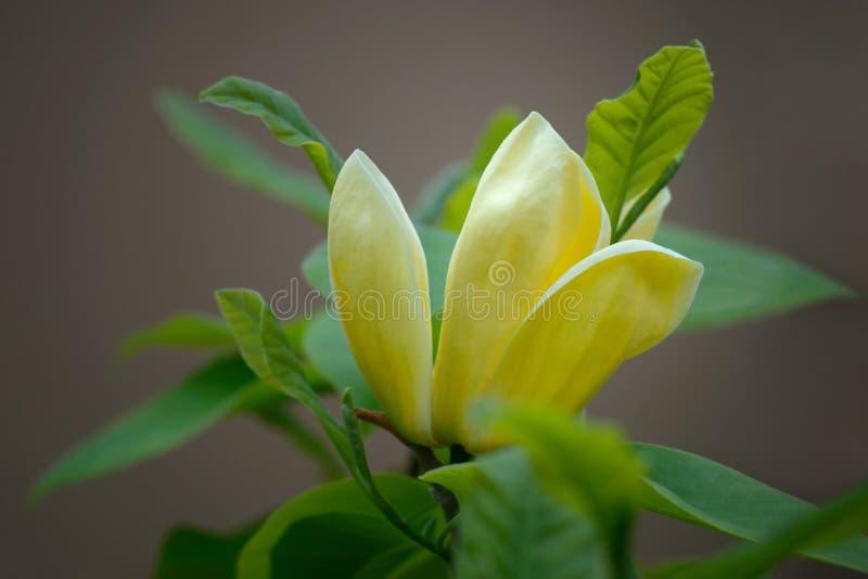 Magnolie Elizabeth - schöner gelber blühender Baum stockfotografie