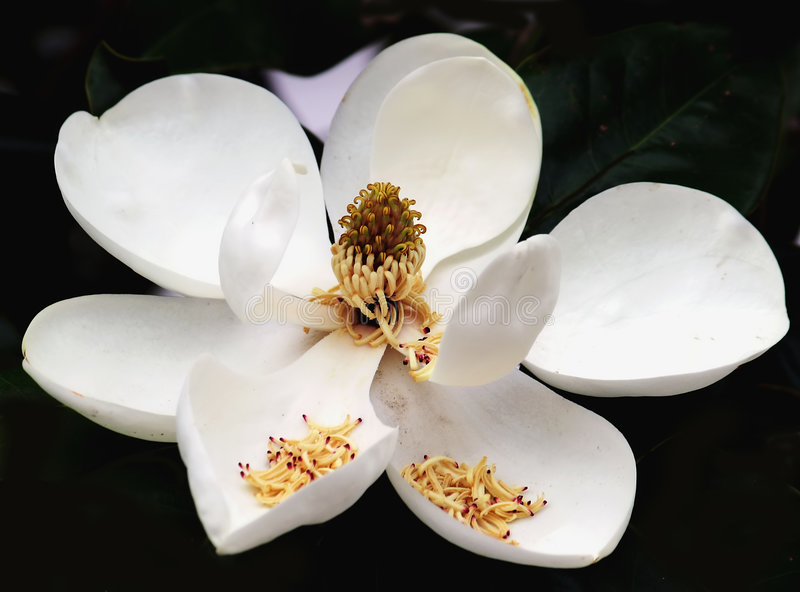 Magnolie Grandiflora stockbilder