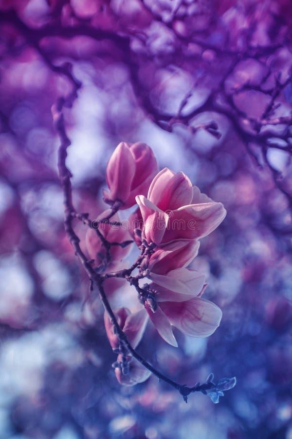 Magnolie im Purpur lizenzfreie stockfotos