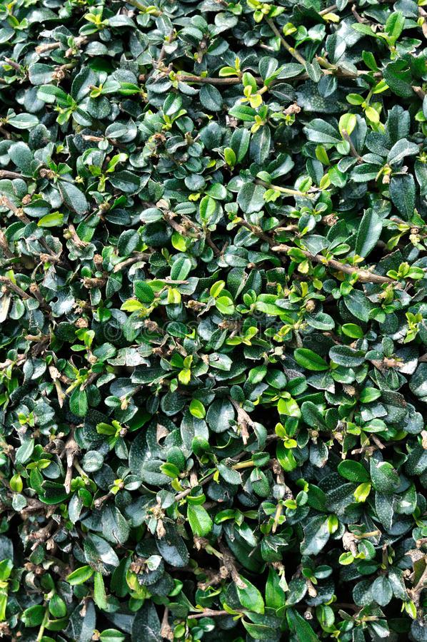 Magnoliebetriebsblätter Als Hintergrund Lizenzfreies Stockfoto
