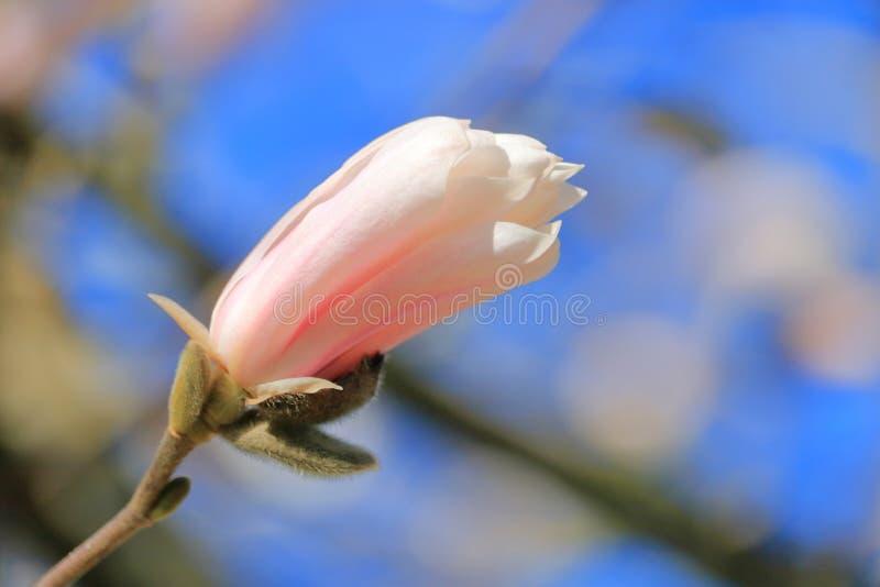 Magnolien-Blüten-Anfang zu blühen lizenzfreie stockfotografie