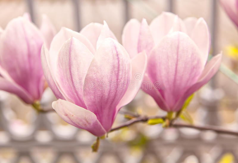 Magnolienbaum lizenzfreie stockbilder