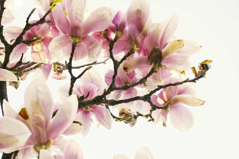 Magnolienbaum stockbilder