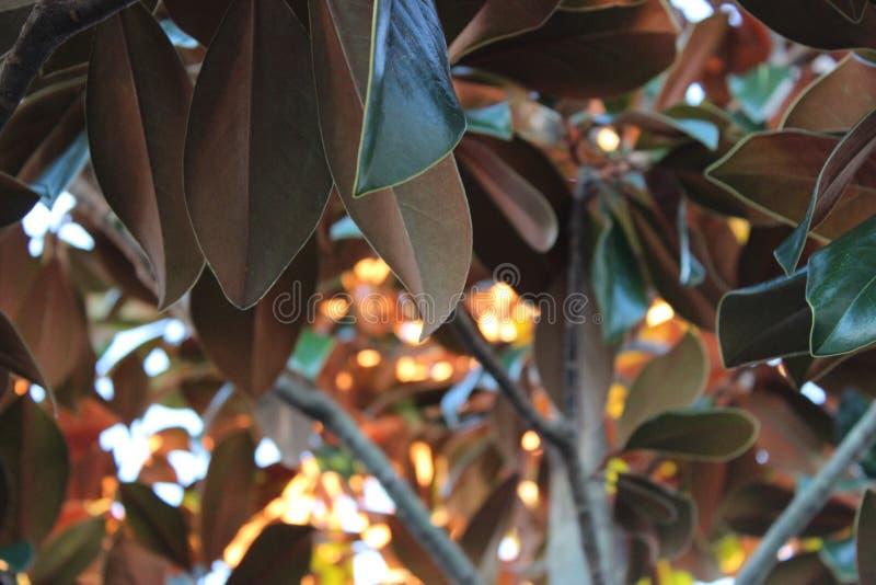 Magnolienbaum lizenzfreies stockfoto