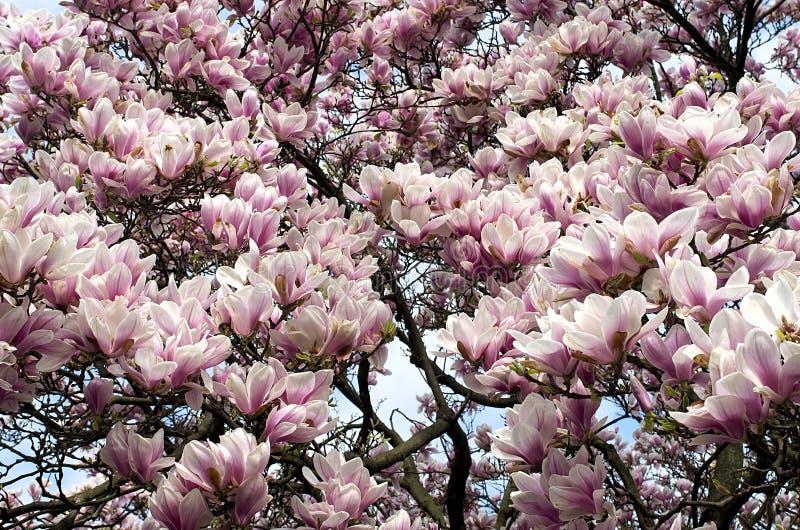 Magnolienbaum in der Blüte im Garten lizenzfreie stockfotografie