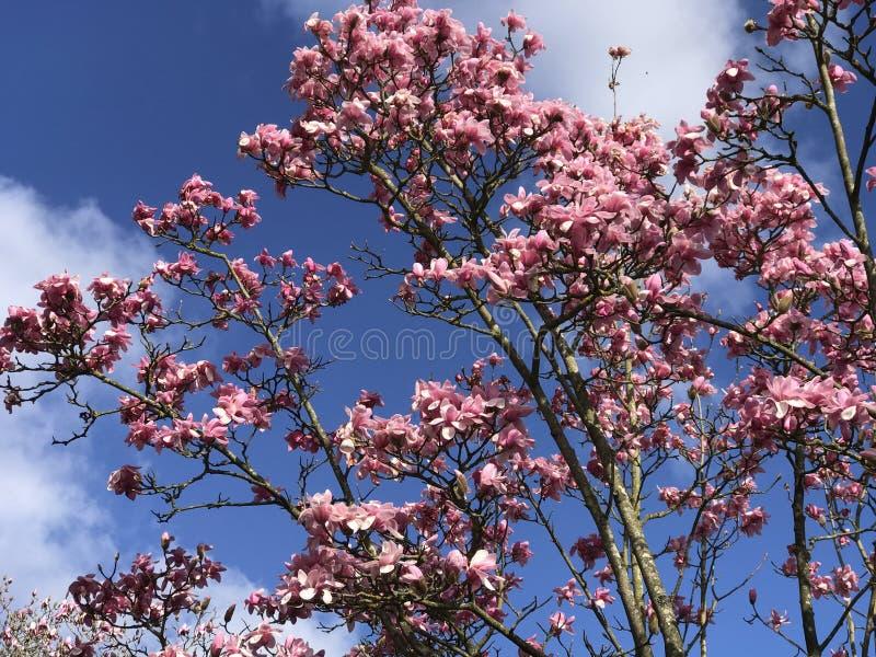 Magnolienbaum lizenzfreies stockbild