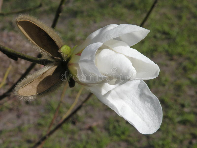 Magnolienblüte stockbild