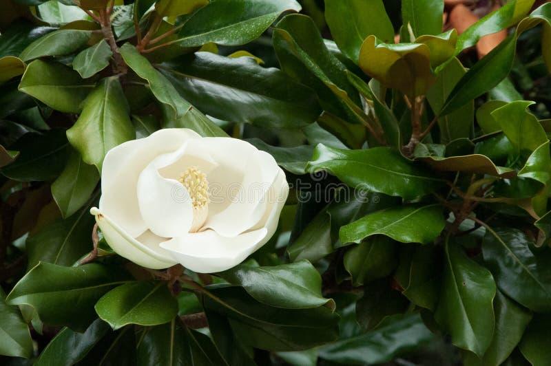 Magnolienblüte auf grünem Hintergrund lizenzfreie stockfotos