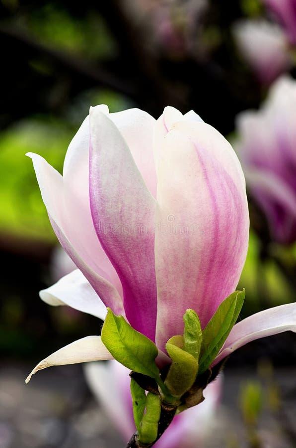 Magnolienblüte im Hintergrund andere Knospen stockbilder