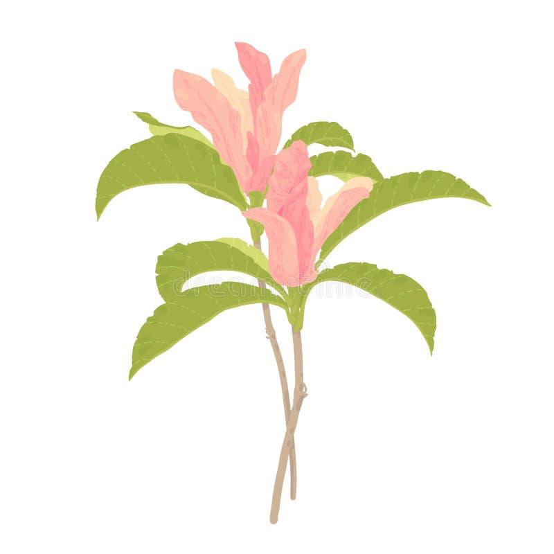 Magnolienblumen lokalisiert auf Weiß lizenzfreie abbildung
