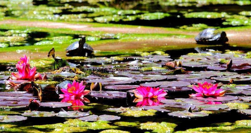Magnolienblumen und -blätter, die in einen Teich mit Schildkröten im Hintergrund schwimmen lizenzfreie stockbilder