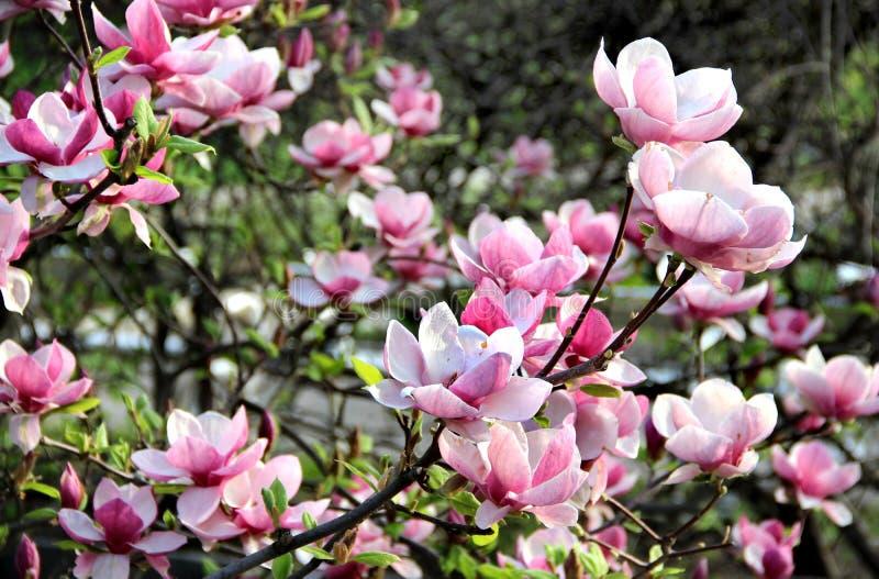 Magnolienfrühlingsbäume in der Blüte lizenzfreies stockfoto